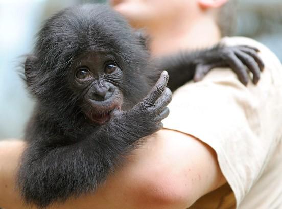 versto enes bonobo baby bilis neues leben frankfurt faz. Black Bedroom Furniture Sets. Home Design Ideas