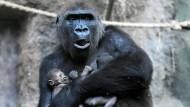 Ein Bild aus früheren Zeiten: Gorilla-Dame Dian mit ihren Zwillingen, kurz nach der Geburt.