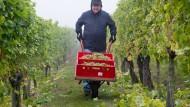 Weinlese auf Hessens nördlichstem Weinberg