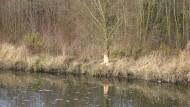 Spuren am Baum: Ein Biber nagt an dieser Weide an der Nidda in Frankfurt