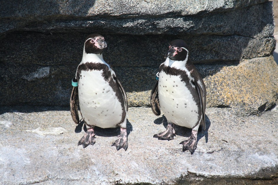 Frühlingsgefühle: Bei den Pinguinen im Frankfurter Zoo haben sich zwei Paare in die Bruthöhlen zurückgezogen.