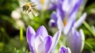Unterwegs in der Februarsonne: Biene auf Krokus in Frankfurt