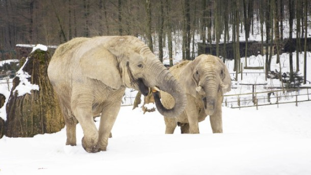 neues elefantenhaus im opel zoo ein viertel der kosten ist beisammen hessen faz. Black Bedroom Furniture Sets. Home Design Ideas