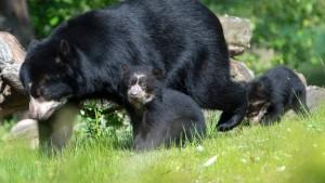 Brillenbären-Babys auf erster Erkundungstour