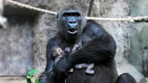 Geburt von Gorilla-Zwillingen