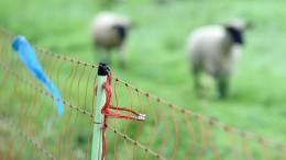 Wolf reißt mehrere Schafe auf Weide in Osthessen