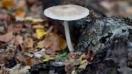 Nur wenige Pilze zu finden