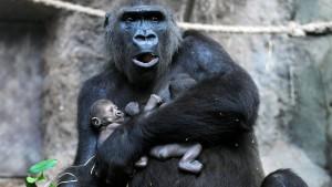 Zweiter Gorilla-Zwilling gestorben