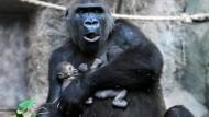 """Hat sich von den Krankheitssymptomen erholt: Gorilla-Dame """"Dian"""". Auf dem Archivbild hält sie noch beide Gorilla-Babys im Arm."""