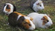 In Bad Hersfeld könnte ein Mann unkontrolliert Meerschweinchen gezüchtet haben. Die Polizei fand 33 tote Meerschweinchen in seiner Kühltruhe - aber auch viele lebende Tiere.