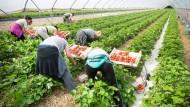 Viele Erdbeeren, aber noch hohe Preise