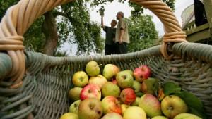 Hessens Kelterer erwarten wieder guten Apfelwein