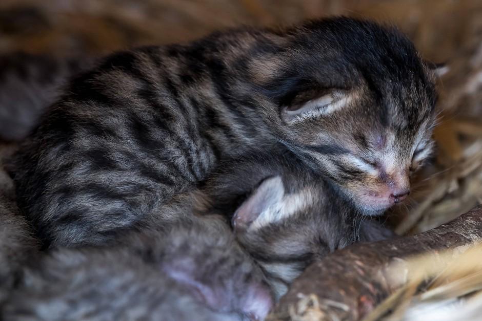 Lass Dich umarmen! Auch Wildkatzen haben ein Schmusebedürfnis