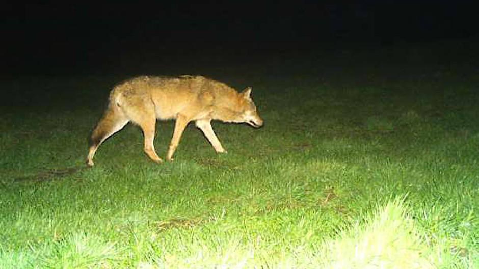 Hesse: Im Vogelsberg in eine Fotofalle getappter Wolf