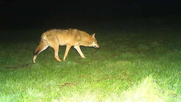 Auch im Rheingau-Taunus läuft nun ein Wolf herum