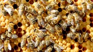Statt Bienen-Nachwuchs nur eine braune Masse