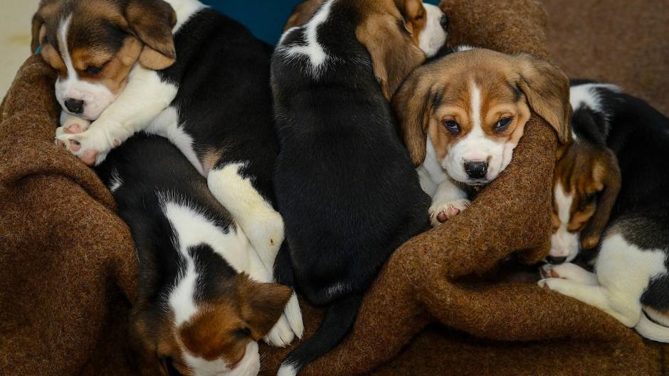 Gut umsorgt und geimpft? Beagle-Welpen