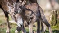 Ostergeschenk: Mufflon-Junges im Opel-Zoo