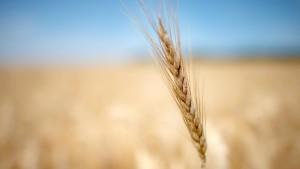 Getreideernte mitten in Deutschland besser als erwartet