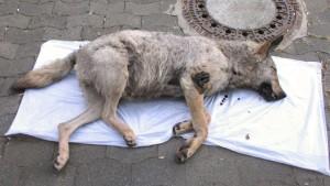 Mutmaßlicher Wolf nahe Marburg tot entdeckt