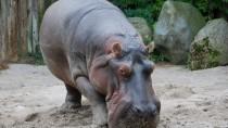 Zweitonner: Flusspferd Maikel aus dem Frankfurter Zoo starb aufgrund eines verschluckten Tennisballs.