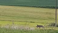 Wolf in Mittelhessen gesichtet