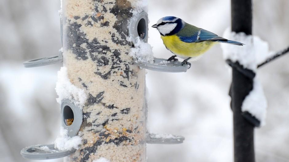 Volles Rohr: Eine Blaumeise bedient sich an einer Futtersäule im Garten.