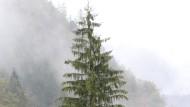 Das isser: Weihnachtsbaum für den Frankfurter Römerberg