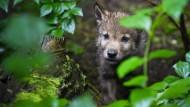 Frisches Blut für Hanauer Wölfe