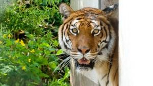 Zwei Tigerdamen als Freundinnen