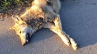 Überfahrener Wolf kam aus Niedersachsen