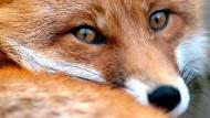 Früher als Überträger der Tollwut verschrien: Rotfuchs