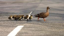 Autofahrerin weicht Enten aus - mit Folgen