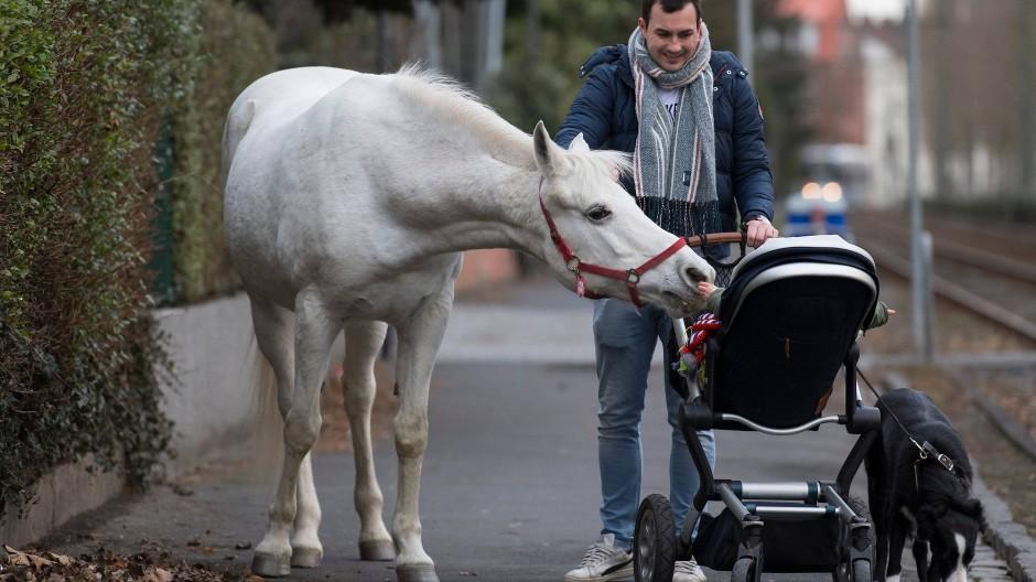 Kleine Berühmtheit: Im Stadtteil kennt so gut wie jeder das Pferd, dass allein durch Fechenheim wandert.