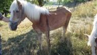 Vernachlässigt: Ein abgemagertes Pferd, um das sich Wetterauer Veterinäre kümmern müssen