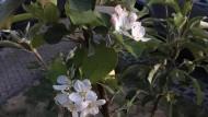 Erblüht: Junges Apfelbäumchen in Oberhessen in diesen Tagen