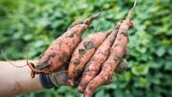 """Ursprünglich: Aus Süßkartoffeln wie diesen hier macht die Küche des Gasthauses """"Ursprung"""" gerade geschnittene Pommes."""