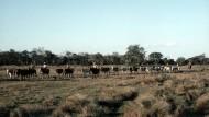 Die Boiadeiros im Pantanal werden weniger