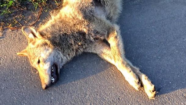 Toter Wolf im Spessart entdeckt