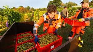 Auch auf Hessens nördlichstem Weinberg läuft die Weinlese