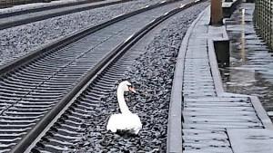Trauernder Schwan blockiert ICE-Strecke