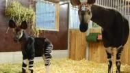 Okapi-Nachwuchs im Zoo