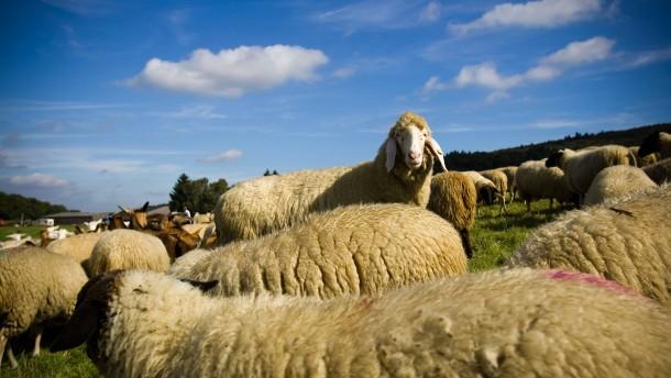 Land fördert Rhönschaf-Haltung wieder finanziell
