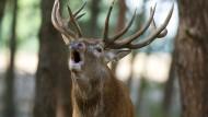 Hirsch, da röhrt er: Geht es dem Rotwild zu gut, dann leidet der Wald.
