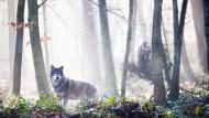 Halbstarke: Die jungen Grauwölfe sind herangewachsen und trauen sich mittlerweile auch an den Zaun heran.