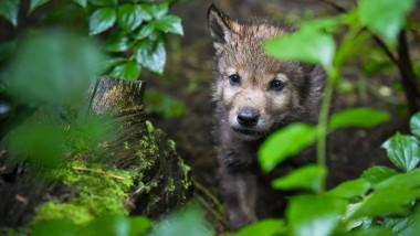 Im Genpool: Ein junger Wolf