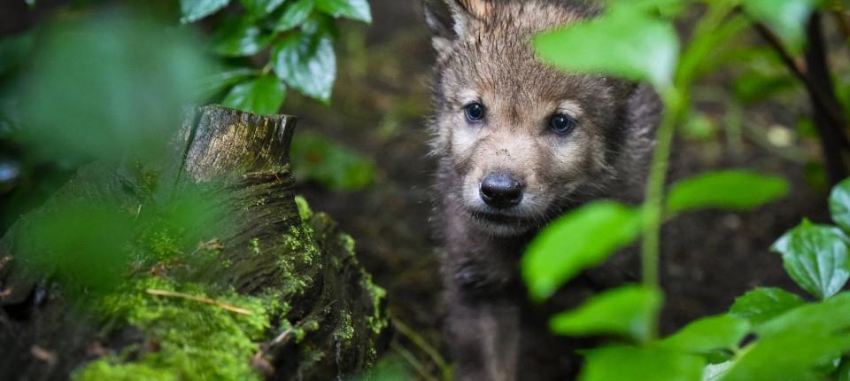 Herkunft Deutscher Wölfe Erforscht Gen Analyse Gegen Die Mär Vom