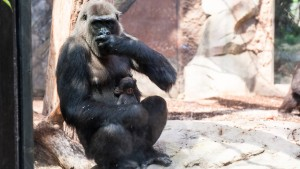 Gorilla-Baby stirbt eine Woche nach der Geburt