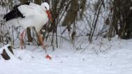 Einige Artgenossen dieses Storchs, der auf einem Vogelhof in Sachsen zu Hause ist, sind aus ihren Winterquartieren im Süden kommend schon wieder nach Hessen zurückgekehrt
