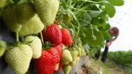 Zumindest teilweise schon reif: Freiland-Erdbeeren in Südhessen